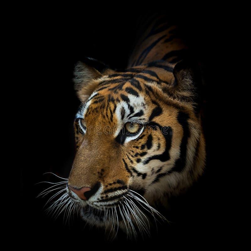 solig tiger f?r t?t dagst?ende upp royaltyfri fotografi