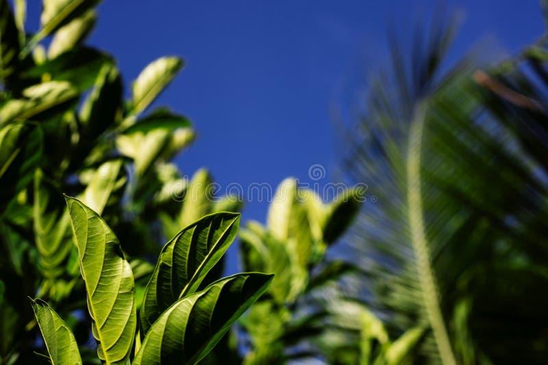 Solig tropisk grönska på bakgrund för blå himmel Den tropiska växten med gräsplan lämnar closeupfotoet fotografering för bildbyråer