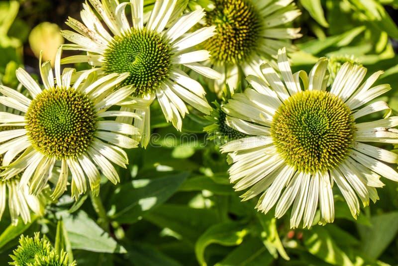 Soliga blommor av den gröna juvelechinaceaen för homeopatisk alternativ medicin royaltyfria foton