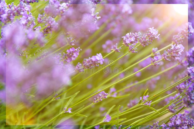 Soliga lila blom- bakgrunder royaltyfri bild