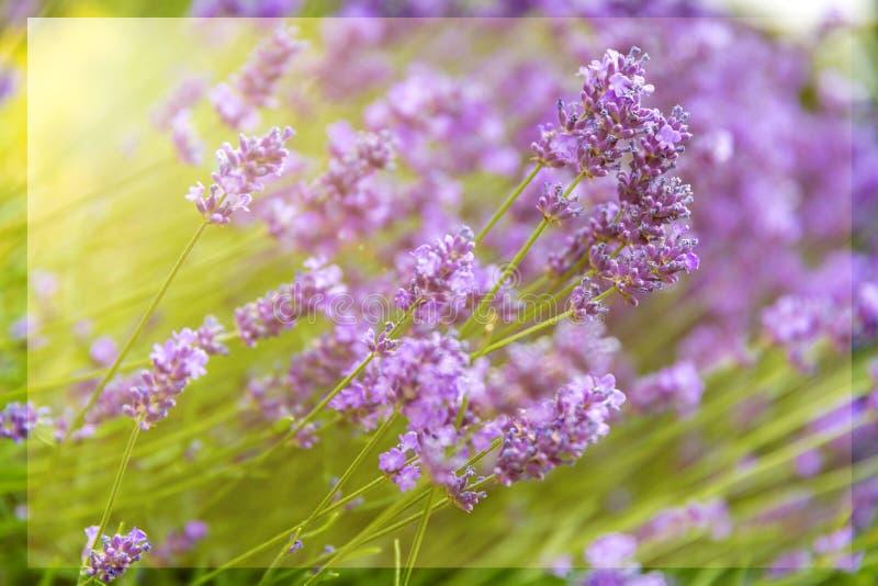 Soliga lila blom- bakgrunder arkivfoto