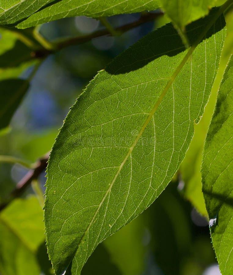 Soligt grönt blad arkivbilder