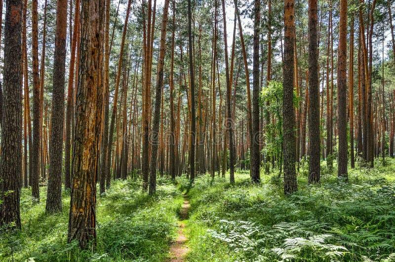 Soligt landskap för härlig sommar i pinjeskog med gröna ormbunkar på jordningen arkivbild