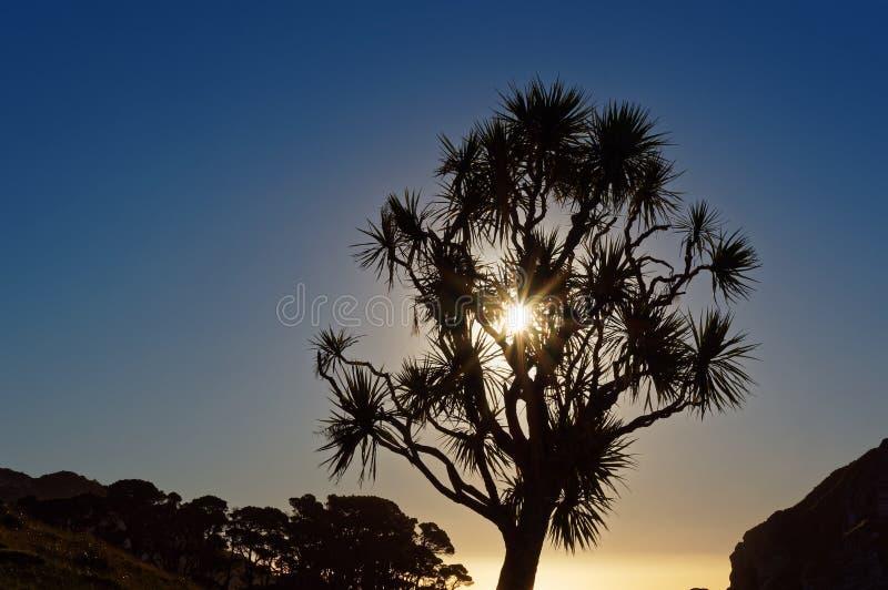 Solinställning bak ett kålträd, västkusten, Nya Zeeland royaltyfria bilder