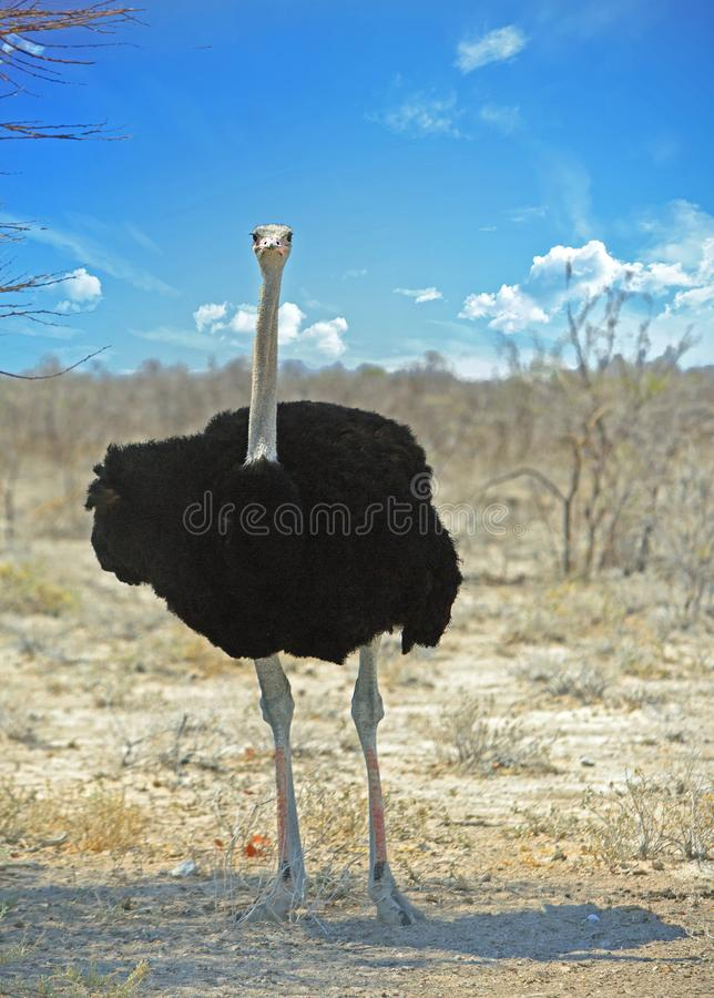 Solir=tary Lone Male Ostrich standing on the dry ETOSHA PLAINS. Male Black Ostrich standing on the dry Etosha Pan with a bright blue cloudy sky, Namibia stock photos