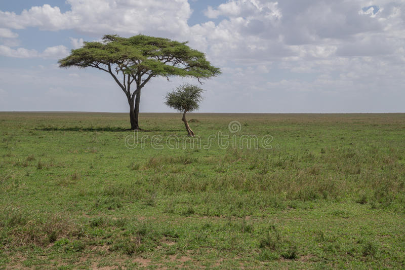 Solitaire acaciaboom stock fotografie