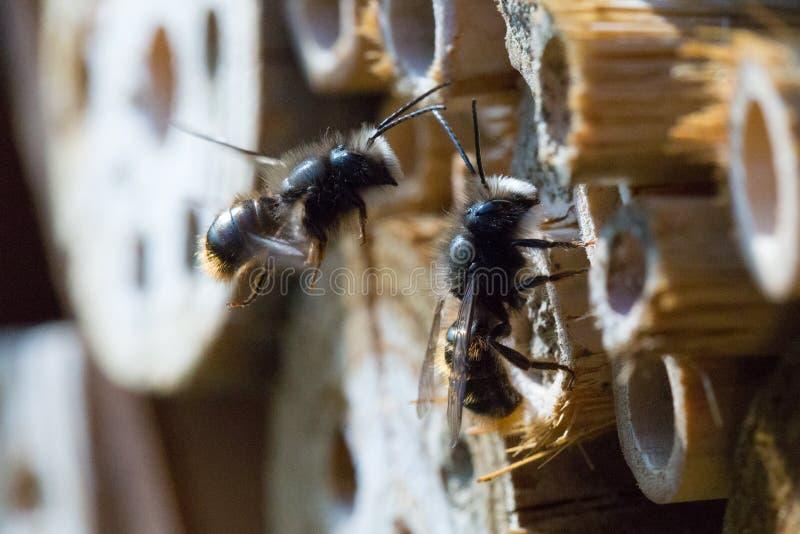 Solitaire bijen royalty-vrije stock afbeeldingen