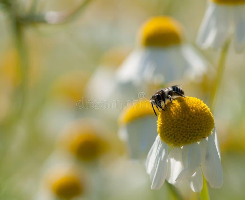 solitaire bijen op Kamillebloem royalty-vrije stock afbeelding
