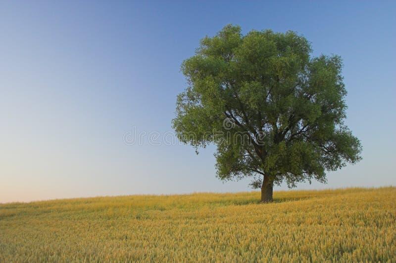 Solitaire boom stock afbeeldingen