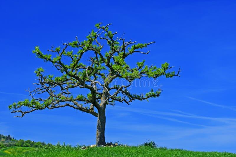 Solitaire boom met donkerblauwe hemel, Toscanië, Italië stock afbeelding