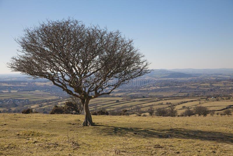 Solitaire boom in Nationaal Park Dartmoor royalty-vrije stock fotografie