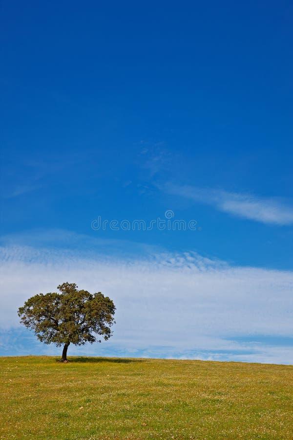 Solitaire boom op blauwe hemel stock fotografie