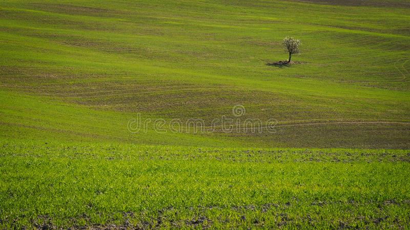 Solitaire boom op de Toscaanse rollende heuvels dichtbij de renaissancestad van Pienza in Italië royalty-vrije stock foto's