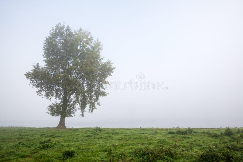 Solitaire boom op een nevelige ochtend stock afbeeldingen