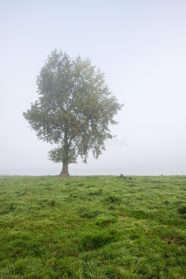Solitaire boom op een nevelige ochtend royalty-vrije stock foto
