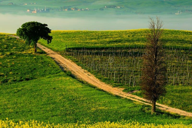 Solitaire cipresboom met grint rad in ochtendmist, Toscanië, Italië Gebrul tussen de gebieden Het landschap van de bloemweide in  royalty-vrije stock foto's