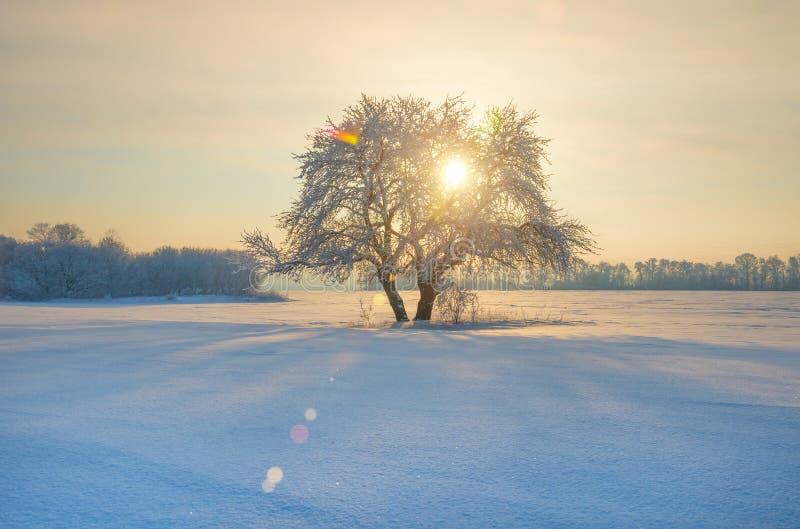 Solitaire die boom op een gebied met sneeuw wordt behandeld royalty-vrije stock afbeelding