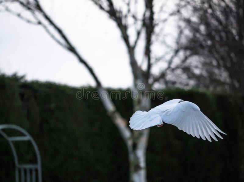 Solitaire die Duif in medio-vlucht wordt gezien, die detail van vleugels en staart tonen stock foto