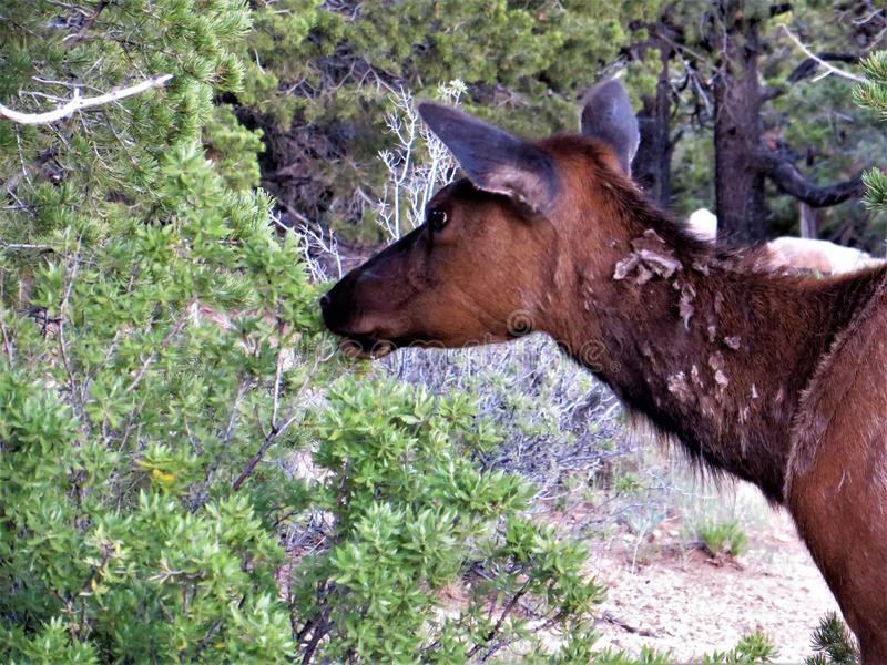 Solitaire jonge elanden het wandelen Zuidenrand van Grand Canyon royalty-vrije stock foto's