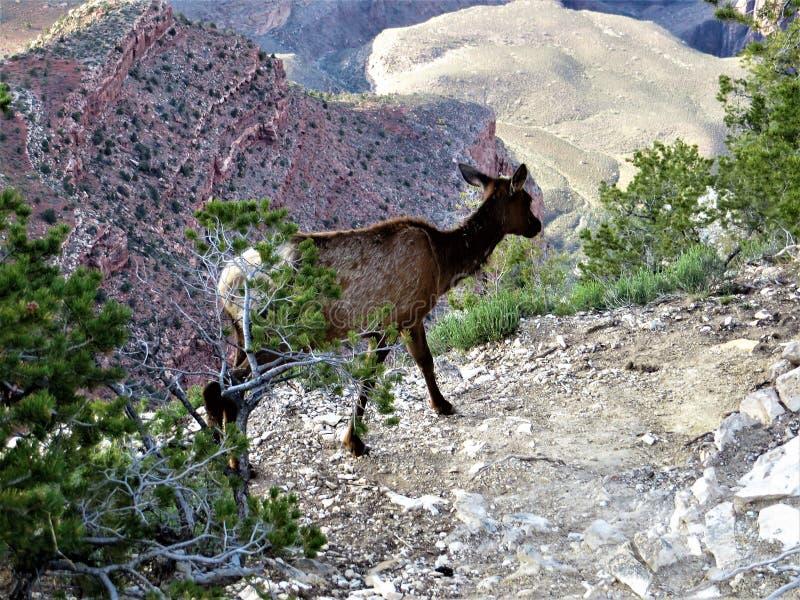 Solitaire jonge elanden het wandelen Zuidenrand van Grand Canyon royalty-vrije stock afbeeldingen