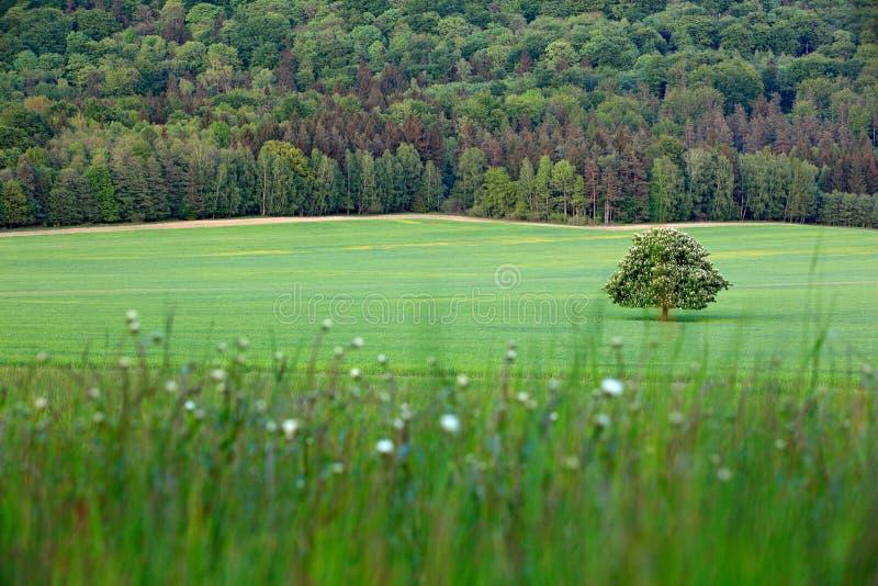 Solitaire kastanjeboom, met witte bloei, op de weide, met donker bos op achtergrond Landschap van Tsjechische aard Koordtijd stock foto's