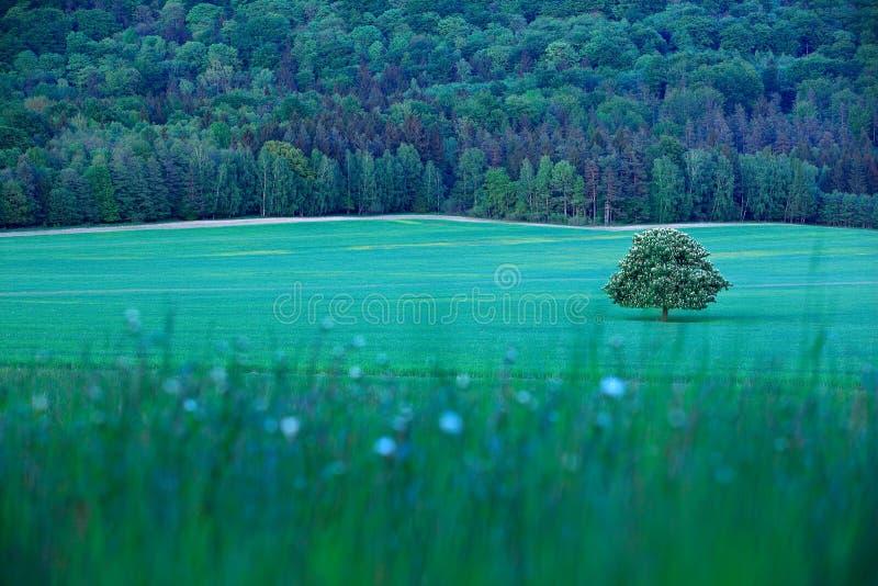 Solitaire kastanjeboom, met witte bloei, op de weide, met donker bos op achtergrond Landschap van Tsjechische aard Koordtijd royalty-vrije stock afbeelding