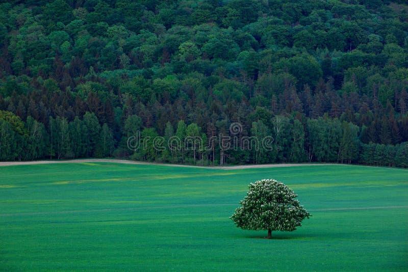 Solitaire kastanjeboom, met witte bloeibloem, in de weide, met donker bos op achtergrond royalty-vrije stock fotografie
