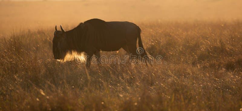Solitaire mannelijke het meest wildebeest, Connochaetes-taurinus, die bij dageraad weiden royalty-vrije stock fotografie