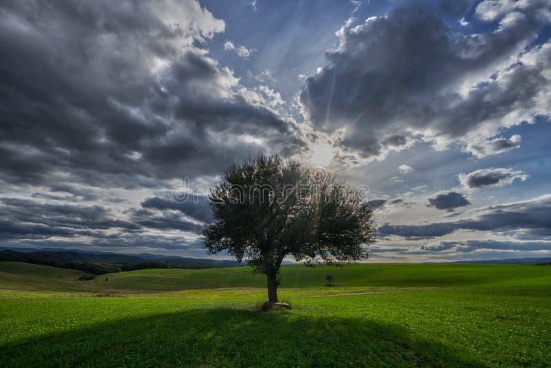 Solitaire perenboom, zon en hemel met wolken stock fotografie