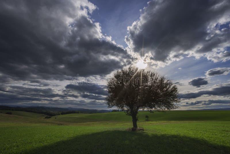 Solitaire perenboom, zon en hemel met wolken stock afbeeldingen