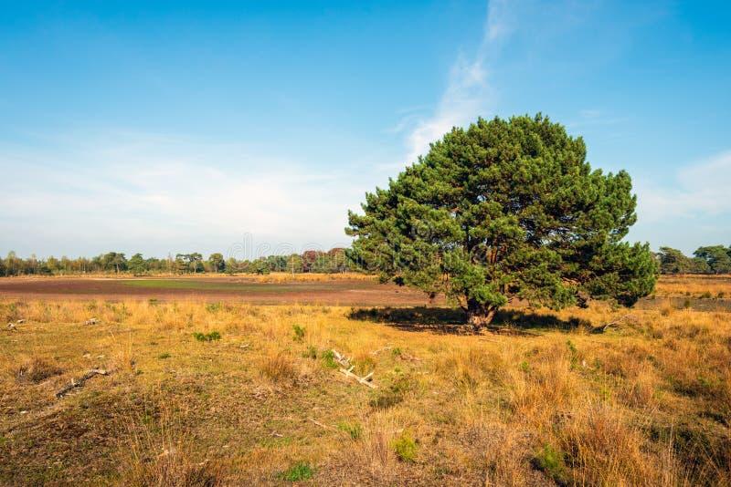 Solitaire pijnboomboom in een Nederlands natuurreservaat in het begin van royalty-vrije stock fotografie
