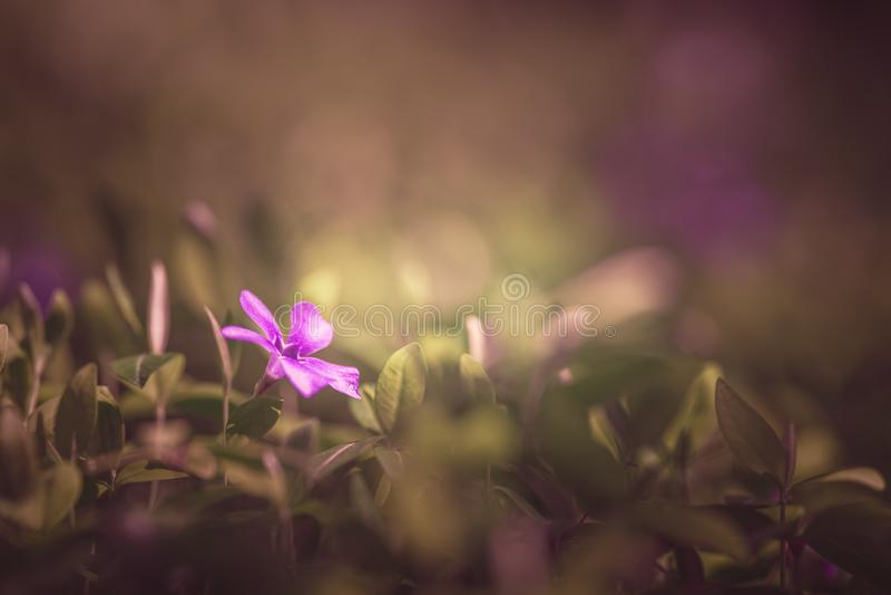 Solitaire roze bloem royalty-vrije stock afbeeldingen