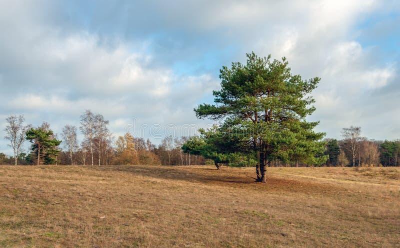 Solitaire scots pijnboom in de voorgrond van een groot gebied met drie royalty-vrije stock afbeelding