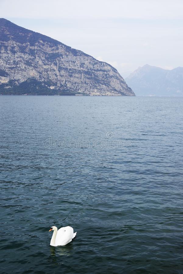 Solitaire swan on Iseo Lake stock photos