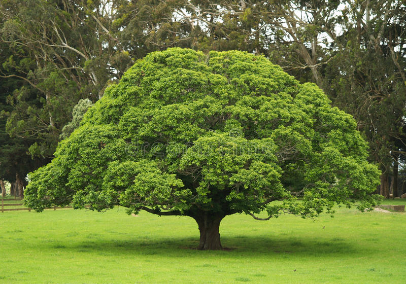 Solitaire tree royalty free stock images