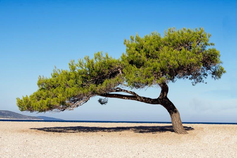 Solitaire tree on beach stock photos