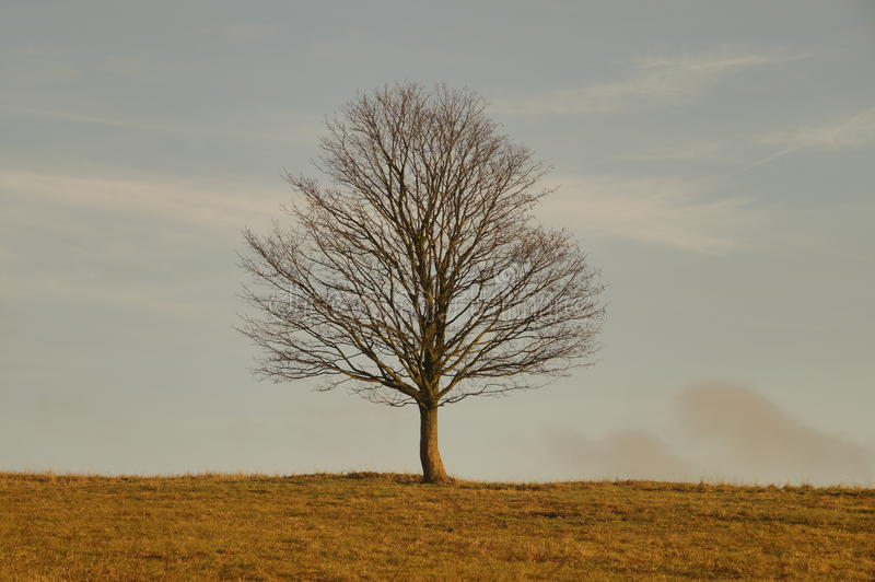 Solitaire tree on the meadow royalty free stock images