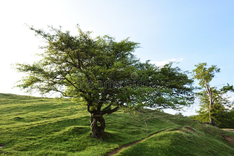 Solitaire tree in spring royalty free stock photo