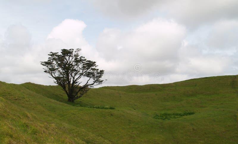 solitairetree royaltyfri bild