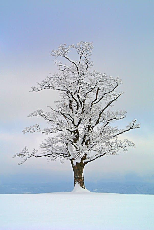 Solitario dell'albero di acero immagini stock