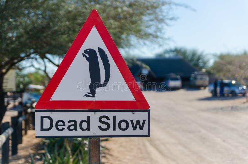 Solitario, Namibia - 5 de julio de 2014: Muestra lenta muerta con el meerkat en el solitario polvoriento de la ciudad del desiert imagen de archivo