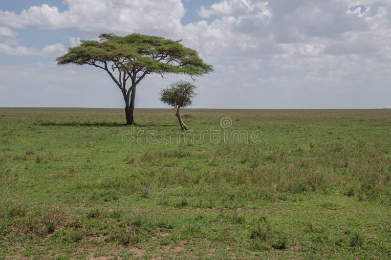 Solitary acacia tree stock photography