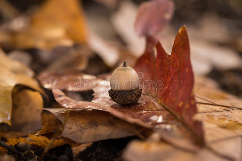 Solitary Acorn on Leaf royalty free stock image