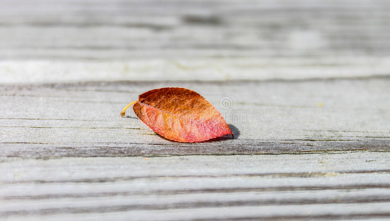 Solitary autumn colored leaf royalty free stock images