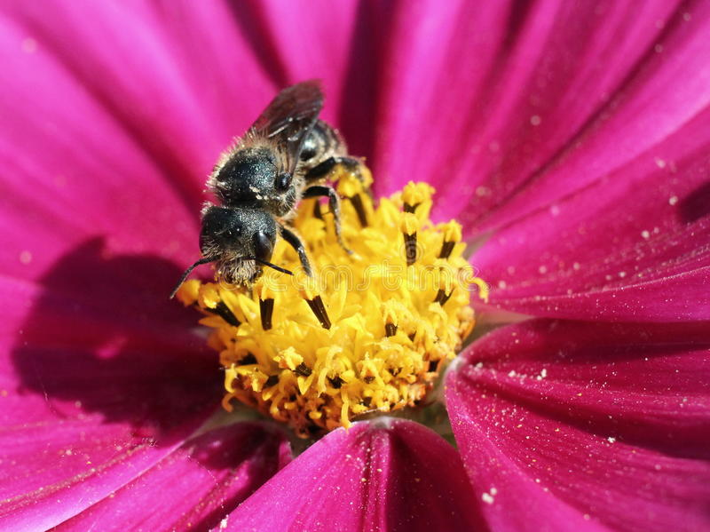 Download Solitary Bee On Cosmo Flower Stock Image - Image: 32035853