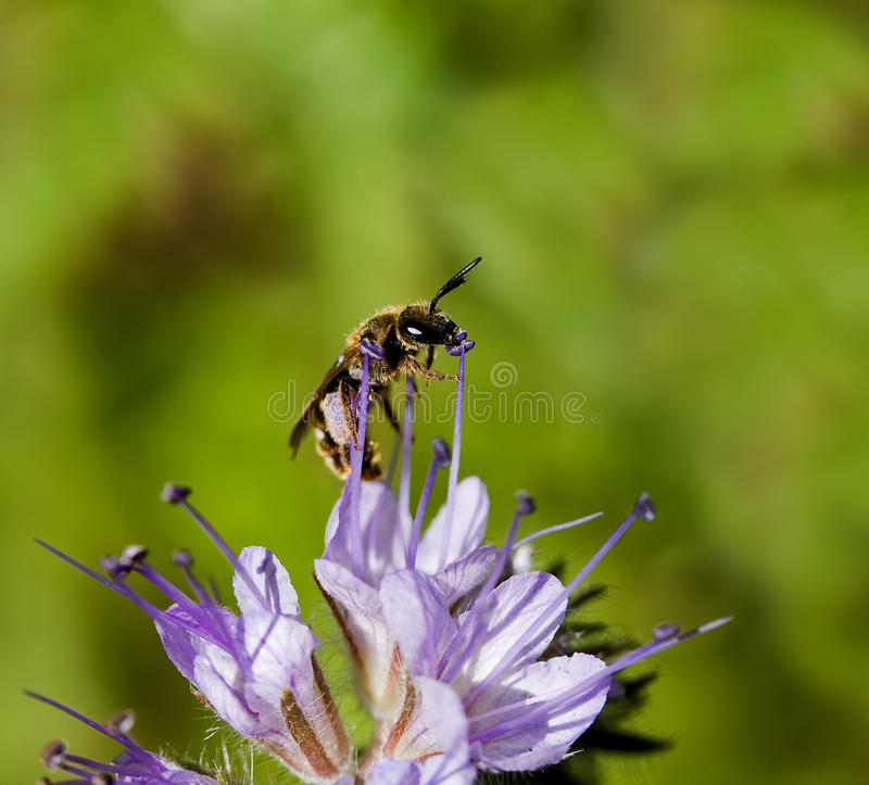 Download Solitary Bee On Phacelia Flower Stock Photo - Image: 14800120