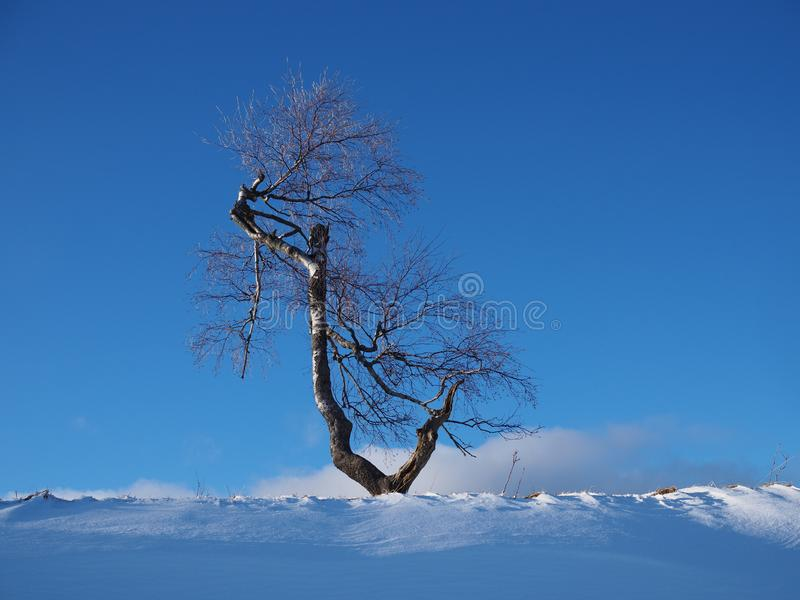 Solitary birch tree lit by the evening sun in front of a blue sky in a snowy winter landscape stock photo