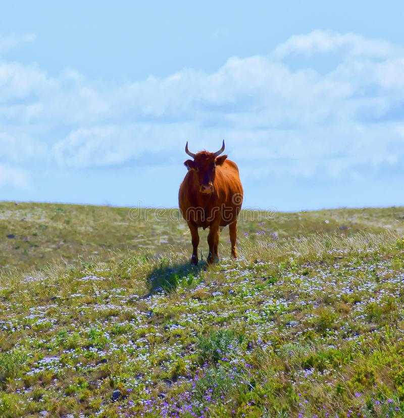 Bull on a Hill  2 royalty free stock photography