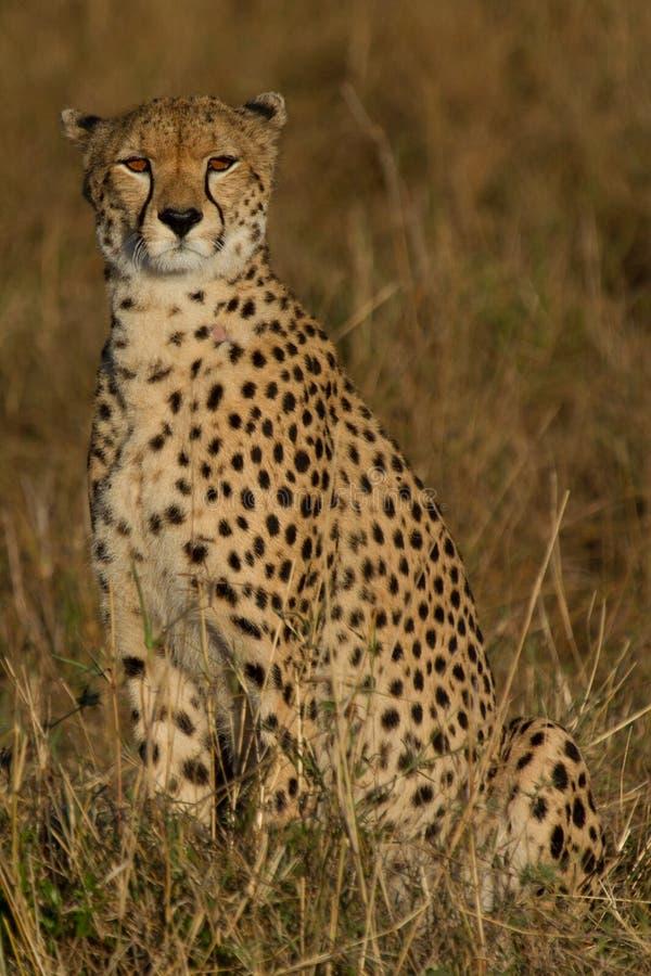 Solitary Cheetah stock photos
