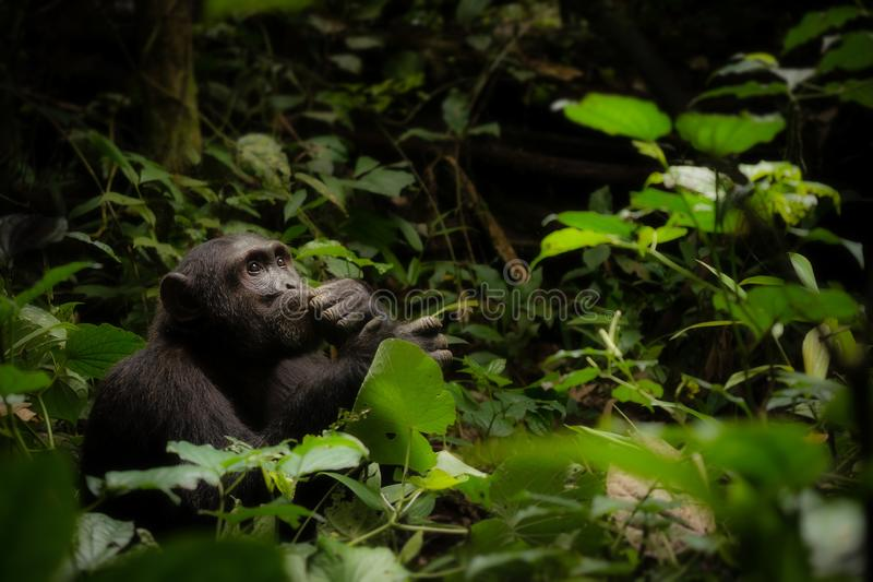 A Contemplative Chimpanzee in Uganda. A solitary chimpanzee sitting in the African jungle appears very intelligent sitting in a contemplative pose on the forest royalty free stock image